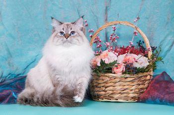 Багратион оф ЕваНева, кот породы Невская Маскарадная.