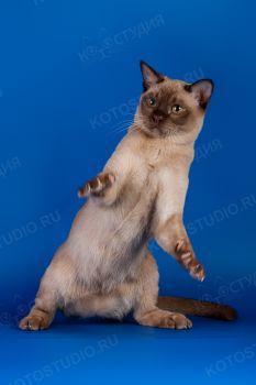 Harmony Natiza. <p>Бурманская кошка</p>