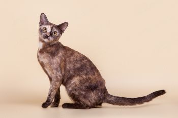 Кошка Бурманской породы