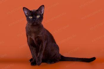 Бурманская кошка из питомника Silk Way.