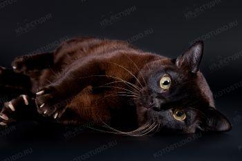 Zaffiro Ferrary of Sovereign Virtue. <p>Бурманский кот</p>