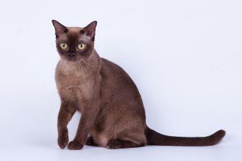 BeautyBurm`s Olivi Michelle. <p>Бурманская кошка</p>