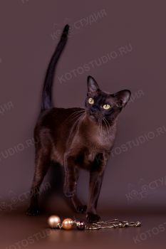O Klear Keara of Mysterious Island. <p>Бурманская кошка</p>