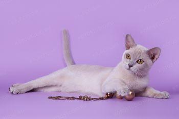 Floriana Mysterious Island. <p>Бурманская кошка</p>