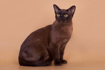 Кошка Бурманской породы.