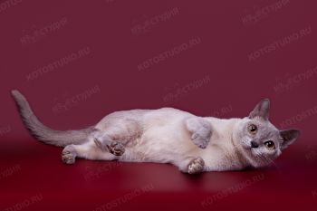 Бурманская кошка из питомника Charmed.