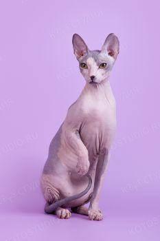 Idel Monika. <p>Кошка Донской сфинкс</p>