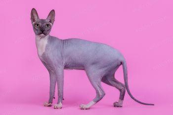 Aisidora. <p>Кошка Донской сфинкс</p>