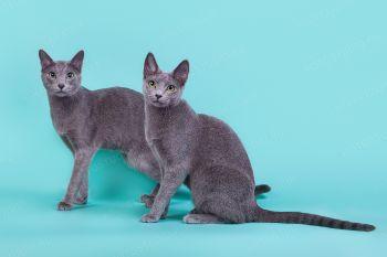 Russkij Paren* Silver  Ferst and Iva Nizhegorodskoe Serebro. Русские голубые кот и кошка.