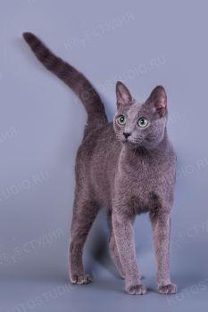 Кошка породы Русская голубая.
