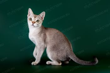 Сингапурская кошка RozenTal Jolly. <p>Заводчик - Сиренко Андрей, г. Саратов.</p>