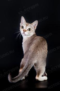 RozenTal Jolly. <p>Сингапурская кошка из г. Саратов</p>