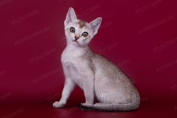 Кошка Сингапурской породы.