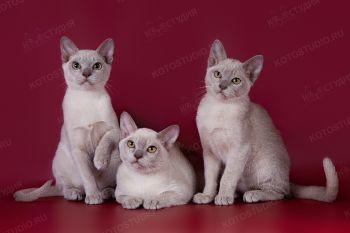Помет бурманских котят из питомника Charmed.
