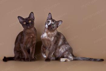 Бурманские котята из питомника Silk Way.