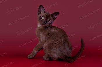 Kiara NALA ALTANA. <p>Бурманский котенок девочка</p>