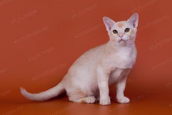 Бурманский котенок красного окраса из питомника Silk Way.
