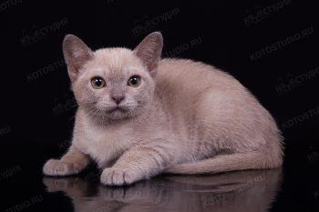 Котенок Бурманской породы.