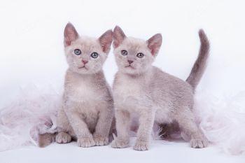 Бурманские котята из питомника Charmed.