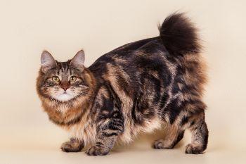 Karmen  Weird  Tail. Длинношерстный курильский бобтейл, кошка, питомник