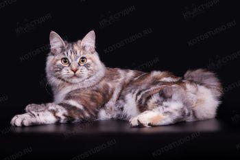 Kukla  Favorit  Tails. Кошка породы длинношерстный Курильский бобтейл из питомника