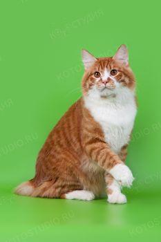 Kudeyar Free Hunter RU. <p>Кот породы Курильский бобтейл</p>