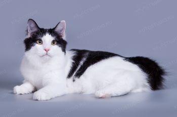 Искра из Сада Радужных Хризантем. Кошка породы Курильский бобтейл.