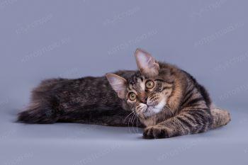 Ладомир из Сада Радужных Хризантем. Кот породы Курильский бобтейл.