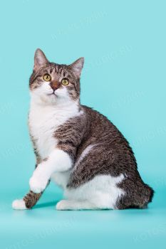 Кошка породы Курильский бобтейл.