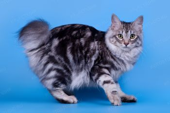 Ameliya Rangerbobcat. <p>Кошка породы Курильский бобтейл</p>