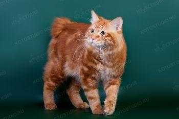 Woker Akkari Ainu. <p>Кот породы Курильский бобтейл</p>