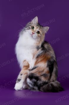Augusta Brus Boyard. <p>Кошка породы Курильский бобтейл</p>