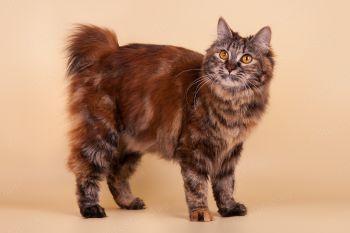 Dubrava's Assol Tiny Lynx. Кошка породы Курильский бобтейл, окрас черепаховый мраморный, питомник Koteyko.