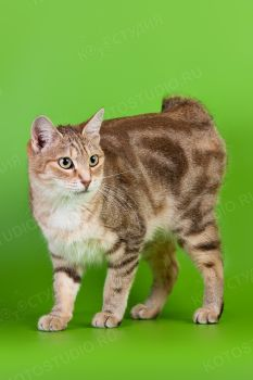 Laima Gold of Barrayar. <p>Кошка породы Курильский бобтейл</p>