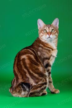 Romashka Island Julapp. <p>Кошка породы Курильский бобтейл</p>