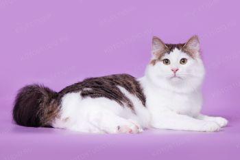 Ch.WCF Ириска из Сада радужных Хризантем. Кошка породы курильский бобтейл.