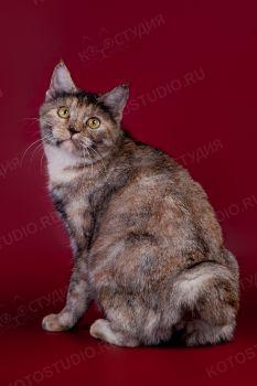 Dos'yana Serebryanaya. <p>Кошка породы Курильский бобтейл</p>