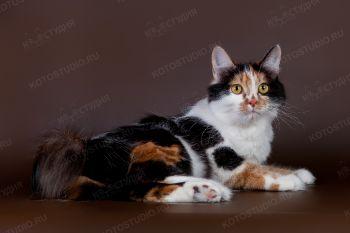 EST Chrisantema Karmino Cat. <p>Кошка породы Курильский бобтейл</p>