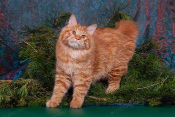 Камея из Сада Радужных Хризантем. Кошка породы Курильский бобтейл.