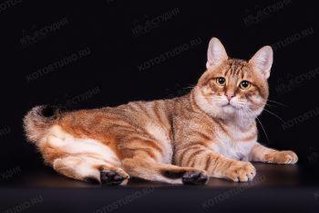 Hamster Gold Paphiaaffect. Кот породы Курильский бобтейл, окрас черный золотистый пятнистый, питомник