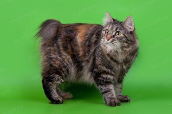 Izabel Adamant. <p>Кошка породы Курильский бобтейл</p>
