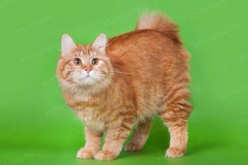 Gr.Int.Ch WCF Крижана из Сада радужных Хризантем. Кошка породы длинношерстный курильский бобтейл.