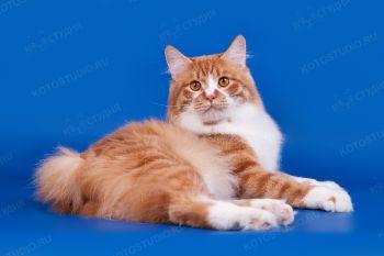 Lord William. <p>Кот породы Курильский бобтейл</p>