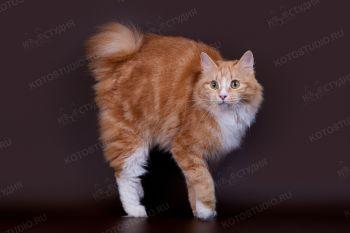 Regina Adamant. <p>Кошка породы Курильский бобтейл</p>