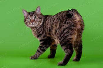 Кот породы Курильский бобтейл.
