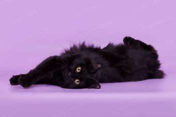 WCh Tanakvisl Galaktika из питомник Tanakvisl. Кошка курильского бобтейла, черная, владелец Шаповалова Ирина.