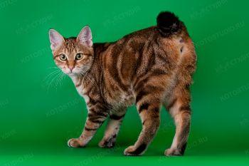 Zoloto Kuril Agnija из питомника Paphiaaffect. Кошка породы Курильский бобтейл черного золотистого мраморного окраса.