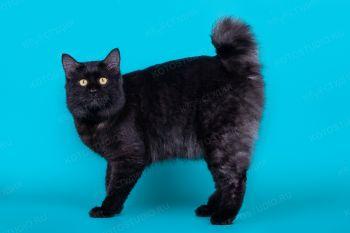 Загар из Сада Радужных Хризантем. Черный кот Курильский бобтейл.