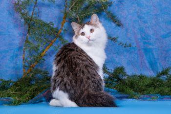 Ириска из Сада радужных Хризантем. Кошка породы Курильский бобтейл.