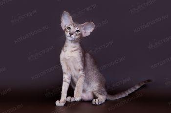 Ориентальный котенок из питомника Jubatus. <p>Заводчица Медведева Ксения, г. Чебоксары</p>
